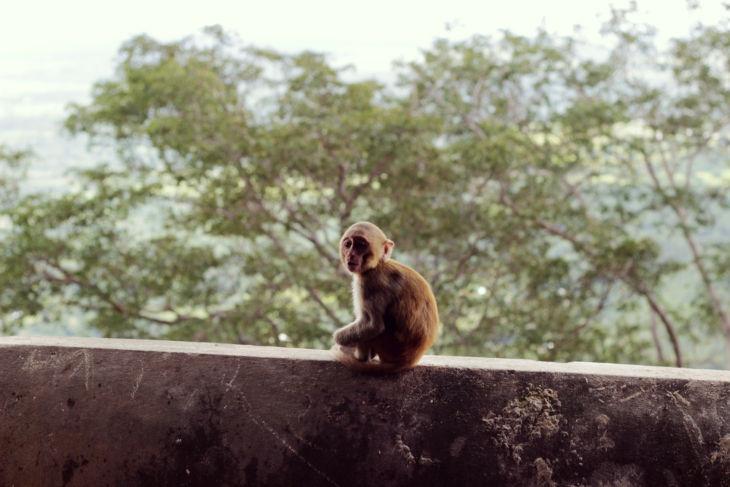 ポッパ山の猿