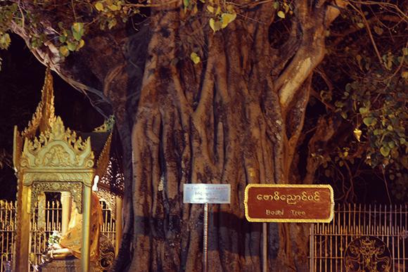 菩提樹(ぼだいじゅ)の木